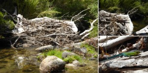 Searching the lizard or how a river bridging log jam connects habitats by David Morche