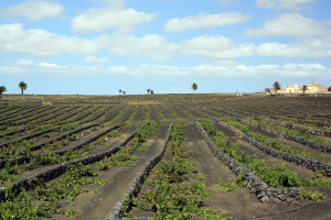 Connectivity under control: vineyards in the Canary Islands by Manuel López-Vicente